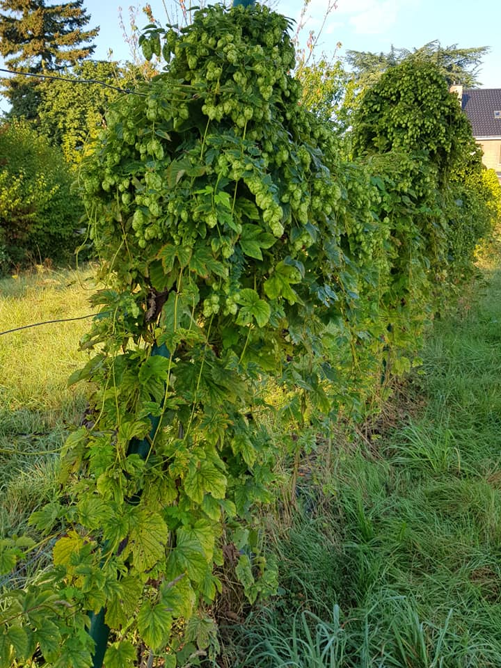 Hops donated and picked in the park of Edingen
